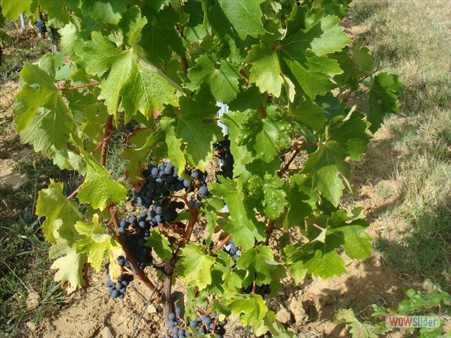 4  DSC02547 la vigne